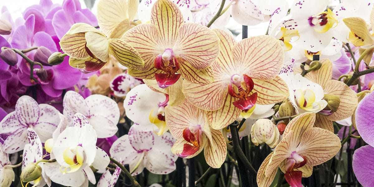 Las orquídeas vanda destacan del resto de las flores por su hermosa apariencia y su fragante aroma