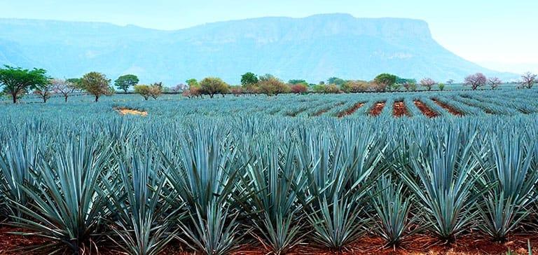 Tequilana Weber en Tequila