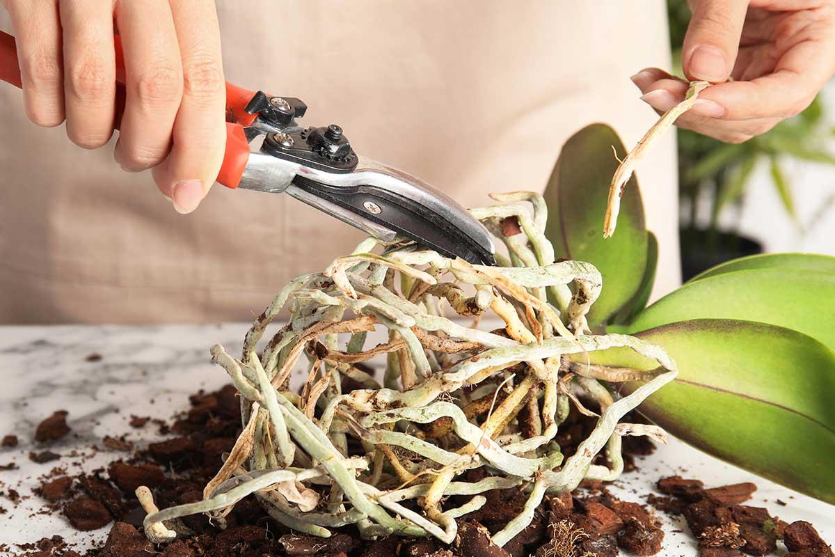 Fertilización de la orquídea