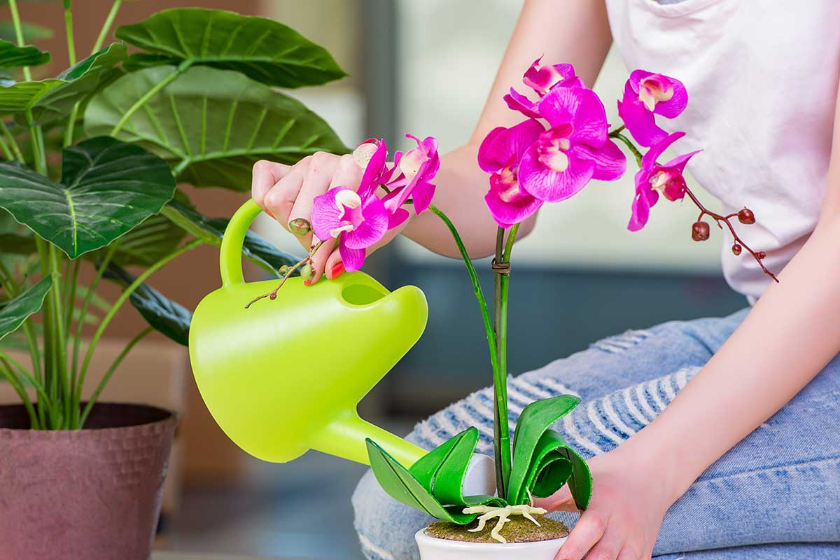 Riega tu orquídea vanda con agua a temperatura ambiente dos veces por semana