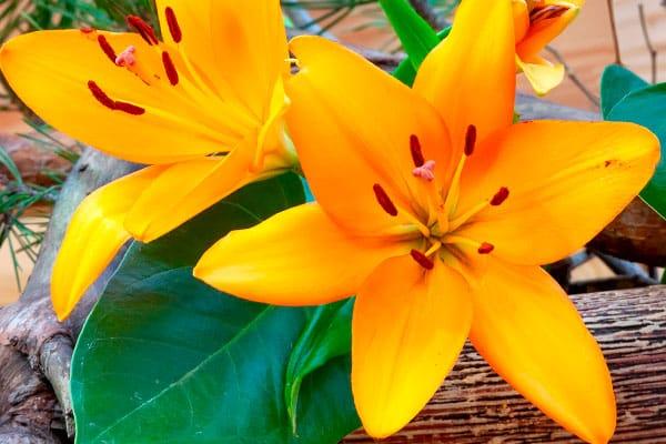 Las flores ideales para mamá, según su significado - Lili Asiática