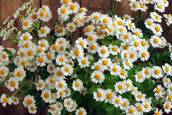 Las flores ideales para mamá, según su significado - Margaritas