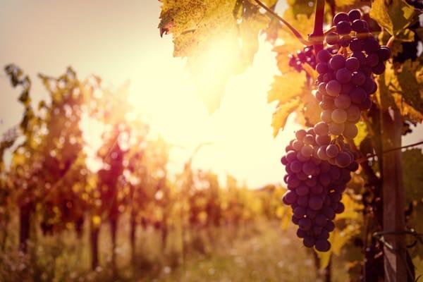 tipos de uva para vinos